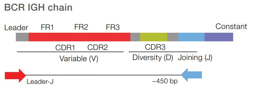 BCR-IGH-chain-slide1